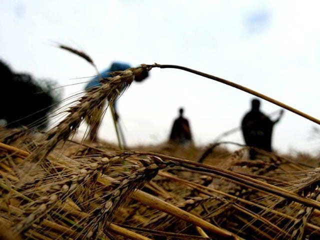 Farmers-inspecting-the-wheat-crop-after-rain-at-village-Mehmadpur-in-Patiala-Bharat-Bhushan-HT