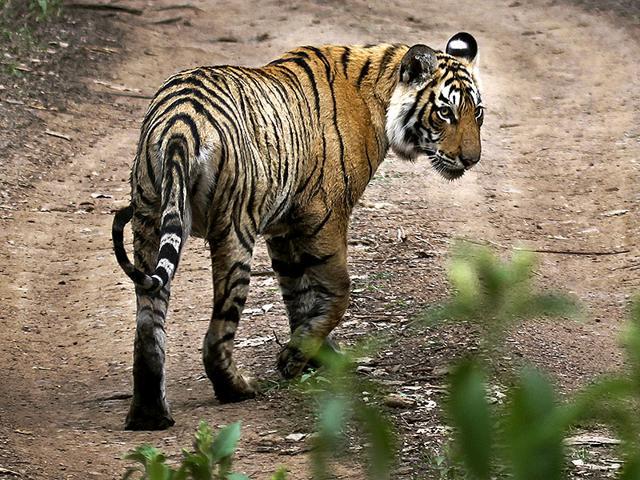 Tiger population,Tiger Reserve,Wildlife Conservation Society