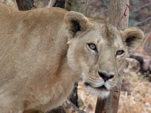 Presently-Van-Vihar-National-Park-in-Bhopal-has-eight-lions-HT-file