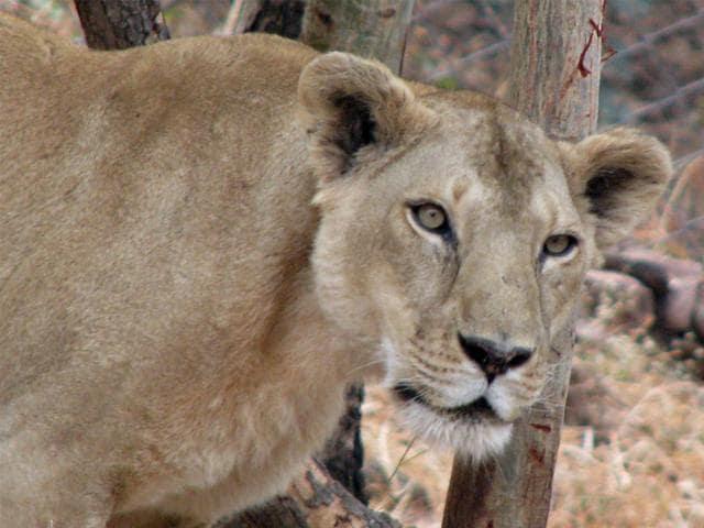 Kuno Palpur wildlife sanctuary,Van Vihar National Park,lion translocation