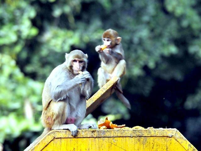 monkeys,Panjab University,Chandigarh