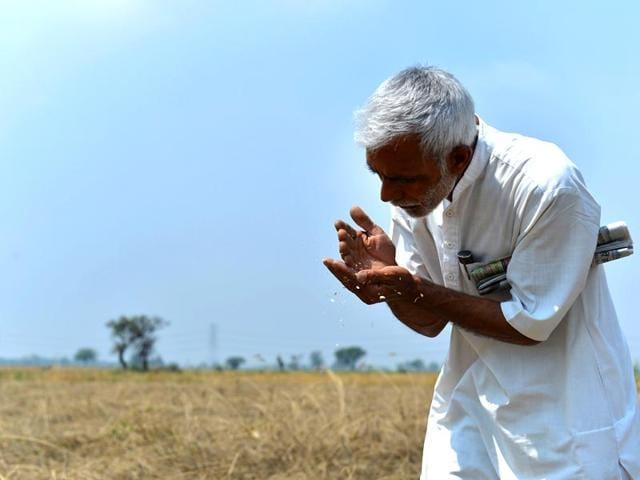 A-farmer-inspecting-the-wheat-crop-after-rain-Bharat-Bhushan-HT-Photo