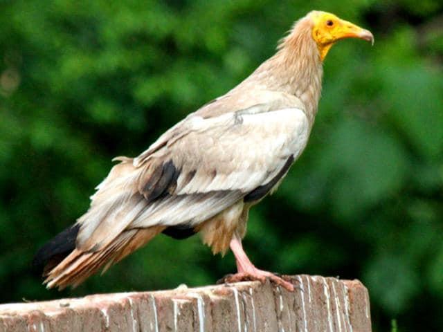 vultures,Pinjore,Extinction