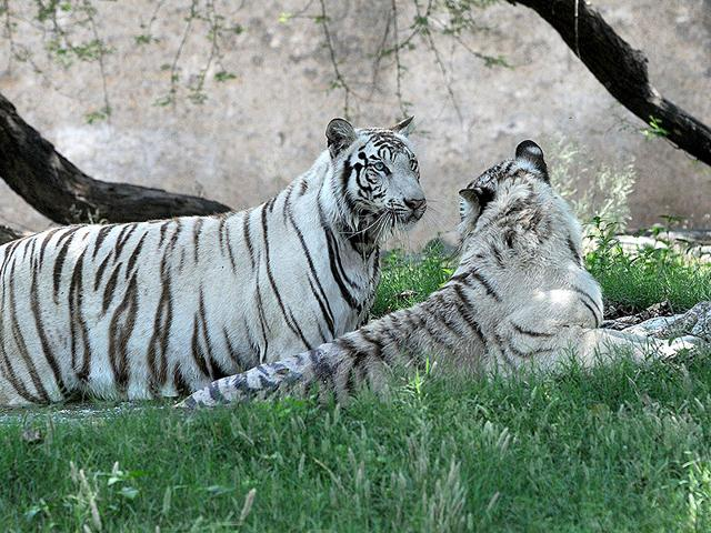 White-tigers-take-refuge-in-a-pond-at-the-Chhatbir-Zoological-Park-on-Friday-Gurminder-Singh-HT-Photo