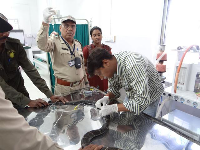 Veterinary-doctor-Dr-Atul-Gupta-in-striped-shirt-treats-the-17-year-old-King-Cobra-which-lost-its-second-fang-recently-HT