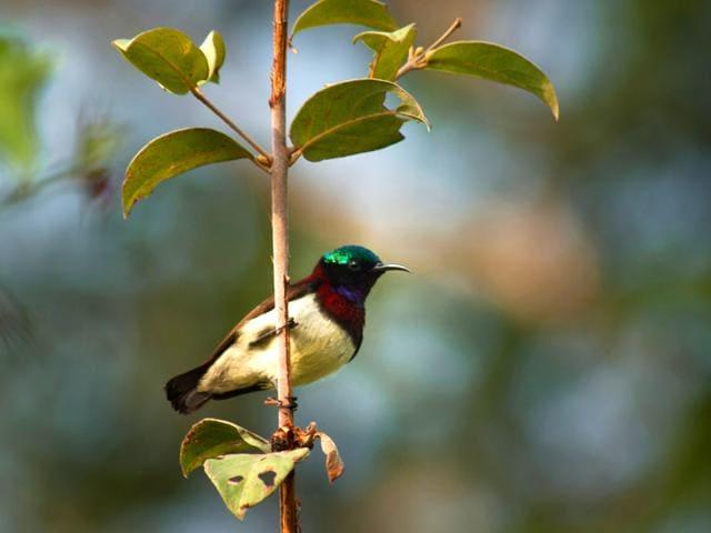 Crimson-backed-sunbird-Photo-Saurabh-Sawant