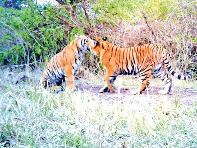 A-pair-of-tigers-play-inside-a-forest-under-Rajaji-National-Park-HT-Photo