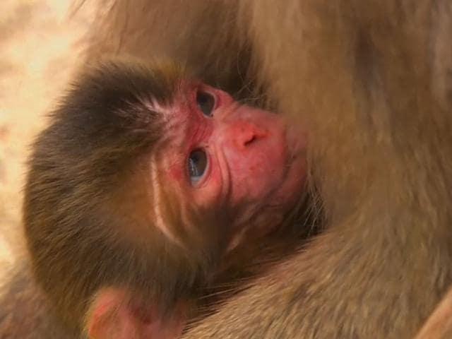 Royal-Baby-Monkey