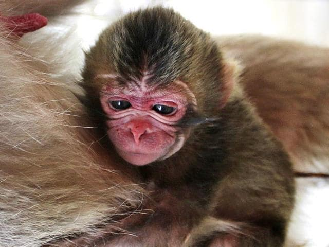 In-this-photo-released-by-the-Takasakiyama-Natural-Zoological-Garden-a-newborn-baby-monkey-named-Charlotte-clings-to-her-mother-at-the-zoo-in-Oita-southern-Japan-AP-Photo