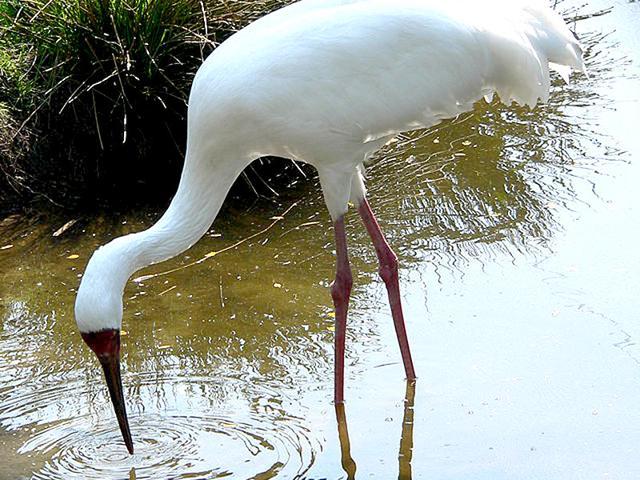 Siberian crane,world bird migratory day,migration