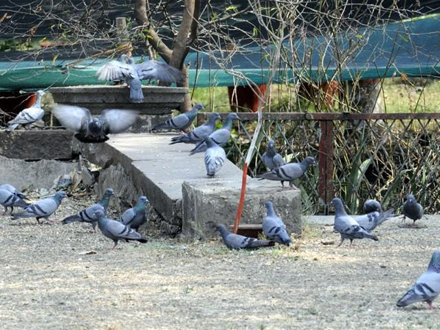 House sparrows,sparrow population dwindling,crows