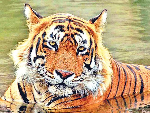 Conservationists-are-divided-over-the-government-s-proposal-to-declare-Ustad-a-man-eater-HT-Photo