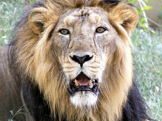Asiatic lions,Gir,Gir Forest National Park