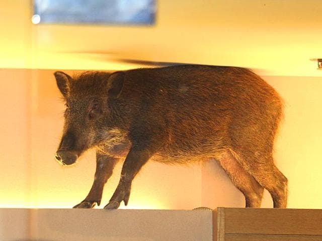 A-wild-boar-is-seen-on-top-of-a-display-rack-at-a-children-s-clothing-store-in-a-mall-in-Hong-Kong-AP-Photo