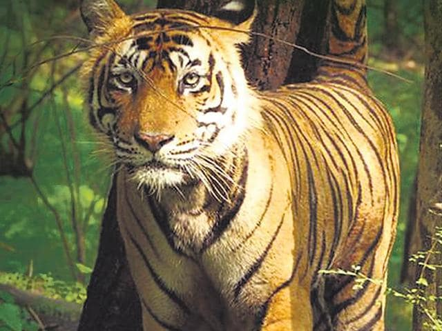 A-recent-picture-of-Ustad-on-the-prowl-in-the-happy-hunting-grounds-of-Ranthambhore-National-Park-HT-Photo