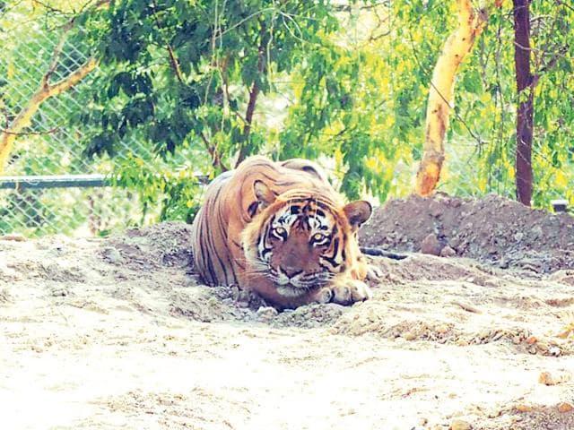 T-24-at-Sajjangarh-Biological-Park-in-Udaipur-HT-photo