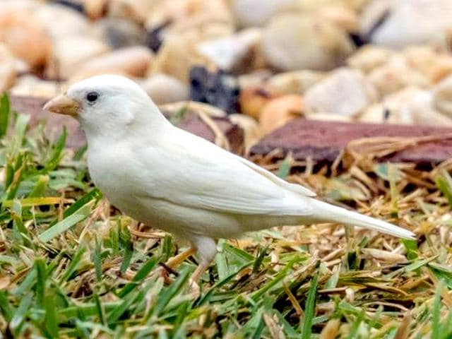 Bob-Winters-said-lack-of-camouflage-makes-the-albino-sparrow-an-easy-prey-The-rare-bird-was-spotted-at-Sanctuary-Lakes-near-Melbourne-on-Monday