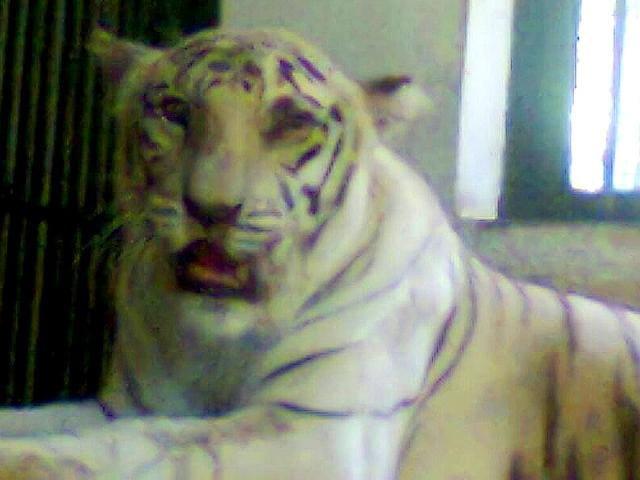 Rebecca-SGNP-s-lone-white-tigress-underwent-a-third-round-of-chemotherapy-HT-Photo