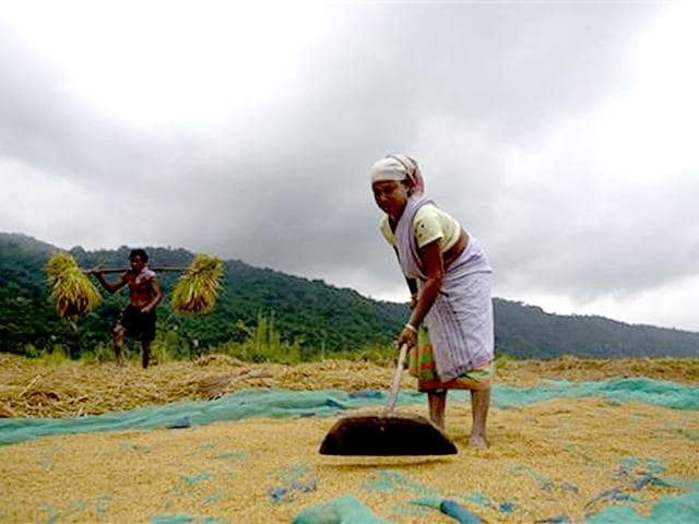 Farmers-use-cows-to-thrash-paddy-after-harvesting-in-a-village-near-Assam-ahead-of-the-anticipated-monsoon-rains-AP-Photo