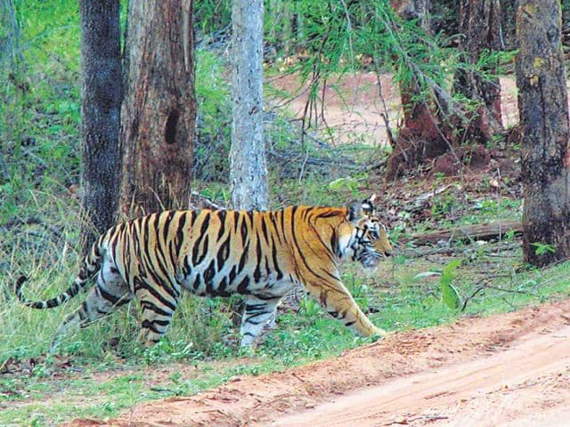 Man-animal-conflict-is-not-new-at-Bandhavgarh-with-both-man-and-tiger-getting-killed-in-the-process-HT-file