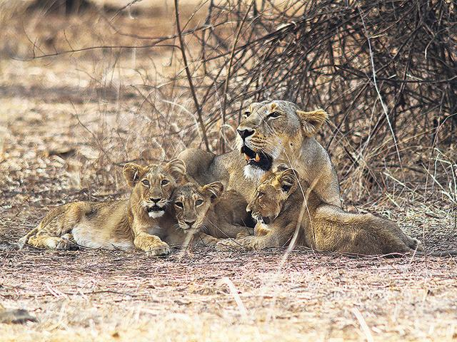 The-2015-census-for-lions-in-Gir-has-shown-an-increased-population-But-is-the-sanctuary-able-to-support-the-growth-and-is-it-safe-to-restrict-them-all-at-one-habitat