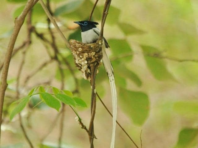 Asian Paradise Flycatcher,doodhraj,Kajligarh forest