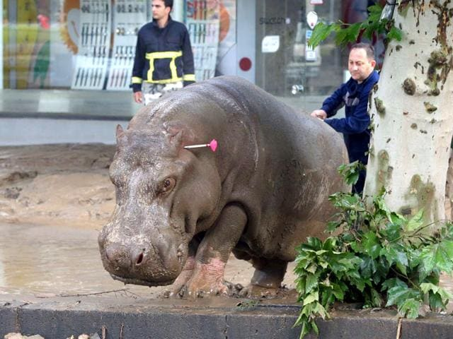 People follow a hippopotamus that has been shot with a tranquilizer dart after it escaped from a flooded zoo in Tbilisi, Georgia. (AP Photo)
