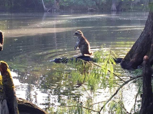 Raccoon,alligator,viral