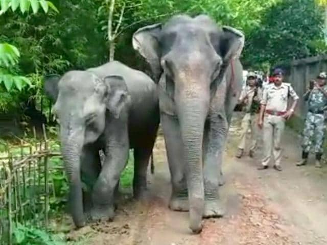 The-Assam-police-found-two-female-elephants-near-Lakhirbond-village-who-were-allegedly-stolen-from-Bangaldesh-Photo-by-special-arrangement