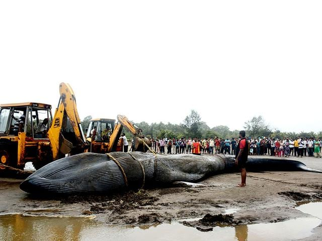 A-40-feet-long-female-Blue-Whale-washed-up-on-a-beach-at-Alibaug-Raigad-in-Maharashtra-on-June-24-2015-Despite-efforts-to-move-the-20-tonne-marine-animal-by-local-fishermen-and-Alibaug-forest-department-the-whale-died-ashore-more-than-18-hours-later-HT-Photo