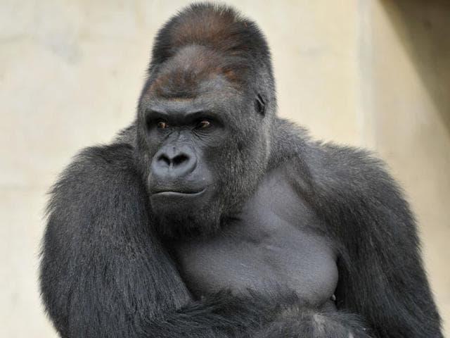 Japan,gorilla,japanese zoo