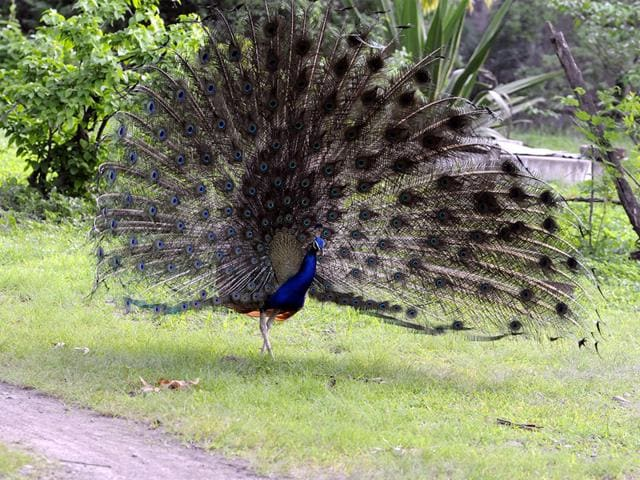Peacock,Raj Bhavan,south Mumbai