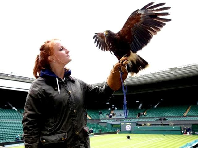 Imogen-Davis-poses-for-a-photograph-with-Rufus-a-Harris-Hawk-used-at-the-Wimbledon-Tennis-Championships-to-scare-away-pigeons-in-Wimbledon-southwest-London-Reuters-Photo