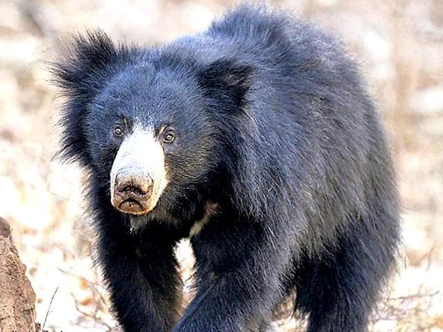 The-sloth-bear-which-was-introduced-into-the-forest-two-years-ago-HT-Photo