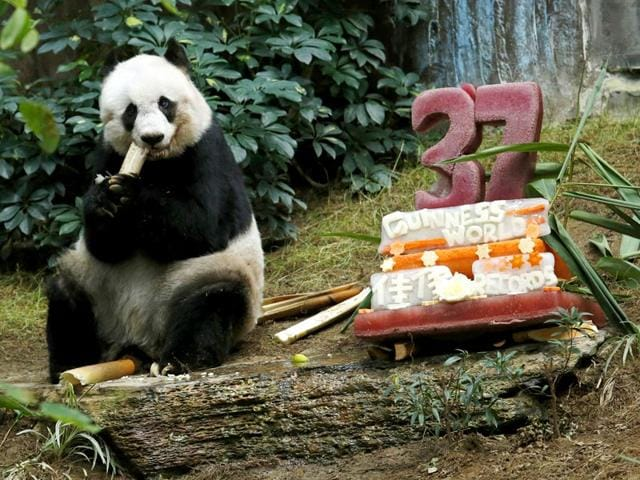 Giant-panda-Jia-Jia-eats-beside-a-birthday-cake-made-from-ice-and-vegetables-as-she-celebrates-her-37-year-old-birthday-at-the-Hong-Kong-Ocean-Park-China-Reuters