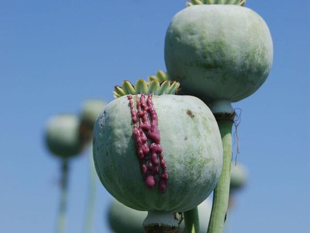 Farmers-generally-slit-poppy-bulbs-to-bleed-opium-a-dark-creamy-thick-latex-like-fluid-HT-photo