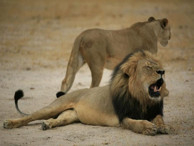 This-handout--photo-of-a--Zimbabwean-lion-called-Cecil-who-was-allegedly-killed-by-an-American-tourist-on-a-hunt-using-a-bow-and-arrow-AFP-Photo