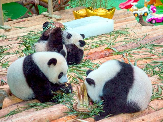 Feeders-hold-giant-panda-triplets-as-they-pose-for-pictures-on-their-first-year-birthday-celebration-at-Chimelong-Safari-Park-in-Guangzhou-Guangdong-province-China-Reuters-Photo