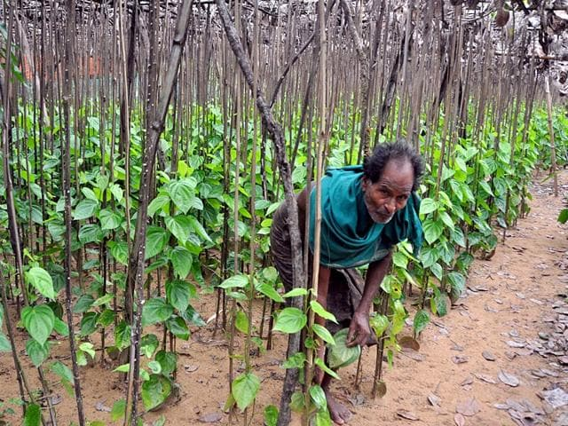 70-year-old-Rajiba-Behera-of-Gobindpur-at-his-betel-vine-that-he-re-errected-after-it-was-demolished-by-the-district-administration-in-2013-Arabinda-Mahapatra-HT-Photo