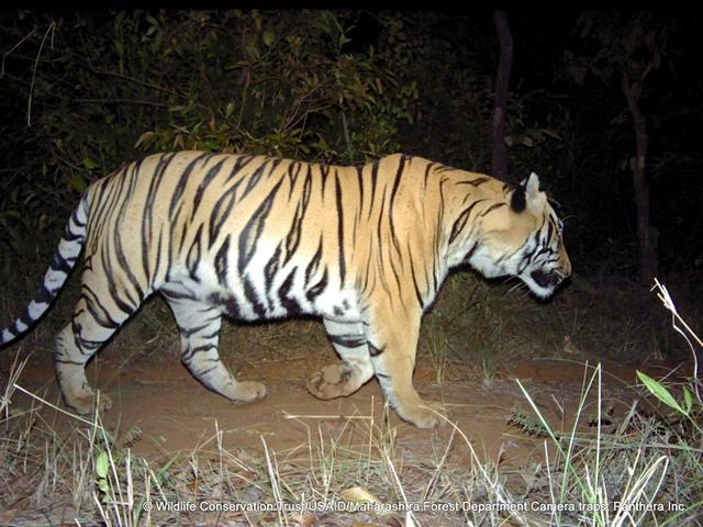 While-the-Tadoba-Andhari-tiger-project-also-has-one-the-Maharashtra-government-will-now-be-creating-detailed-project-reports-for-the-other-tiger-reserves-in-the-state-as-well-Photo-credit-Wildlife-Conservation-Trust-USAID-Maharashtra-Forest-Department-Camera-traps-Panthera-Inc