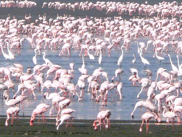 Sewri-mudflats-provide-refuge-to-thousands-of-migratory-flamingos-during-the-non-breeding-season-They-stay-put-here-for-nearly-six-months-Photo-credit-Noor-Khan