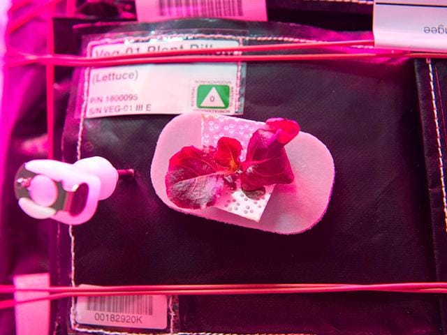 This-NASA-handout-shows-lettuce-growing-during-the-VEGGIE-hardware-validation-test-VEGGIE-provides-lighting-and-nutrient-supply-for-plants-in-the-form-of-a-low-cost-growth-chamber-and-planting-pillows-helping-provide-nutrients-for-the-root-system-AFP-Photo
