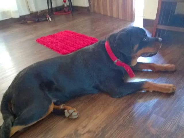 Cocoa-the-one-year-old-Rottweiler-was-sleeping-outside-the-house-because-he-had-an-infection-on-his-right-leg-In-the-morning-the-dog-s-partially-eaten-carcass-was-found-a-kilometre-away-from-the-house