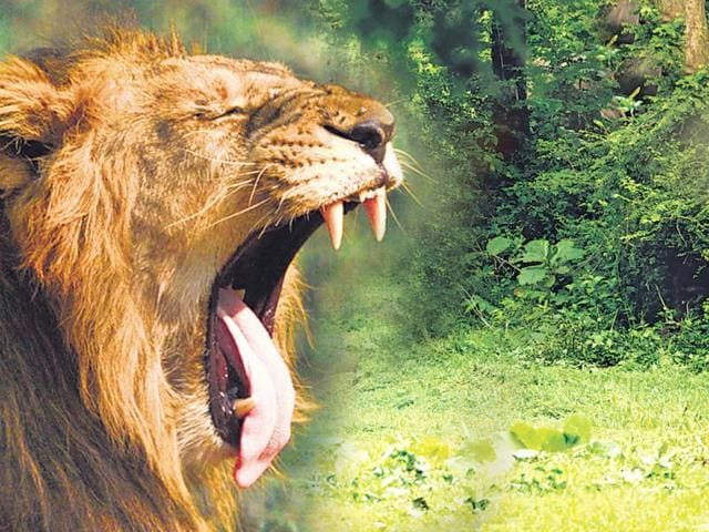 The deaths of Asiatic lions in Mulayam Singh Yadav's Rs 100 crore pet project,Lion Safari, will hit Yadav's plans for a grand opening of the safari, located in his native district, before the 2017 assembly polls. (HT Photo- Photo for representative purposes only)