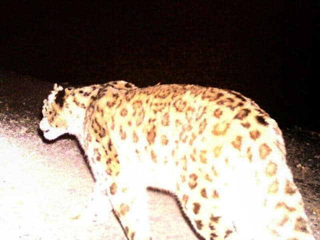 The snow leopard which was captured on camera in Bageshwar. There have only been 11 sightings in the last 5 years (HT Photo)