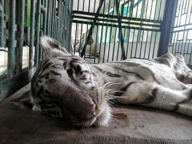 Kamala Nehru Park in Indore on Saturday lost another big cat as five-year-old white tigress Diya succumbed to intestinal cancer. (Arun Mondhe/HT photo)