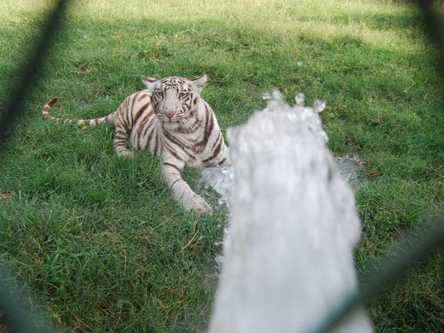 wnite tigress