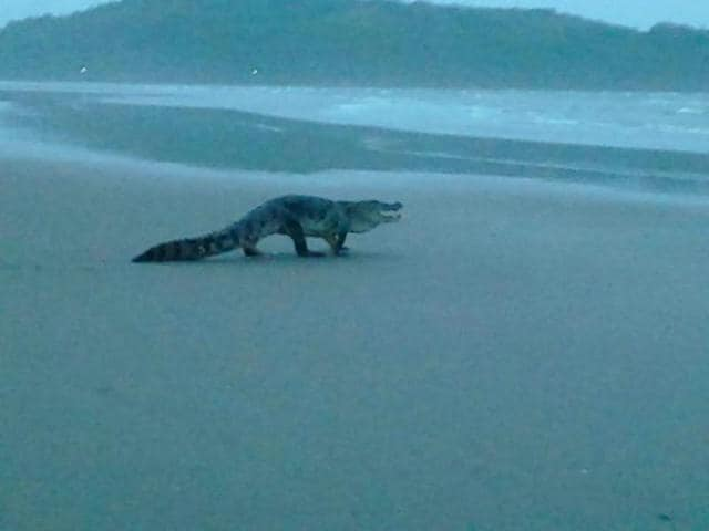 Dead crocodile on Miramar beach,Crocodile spotted on Goa beach
