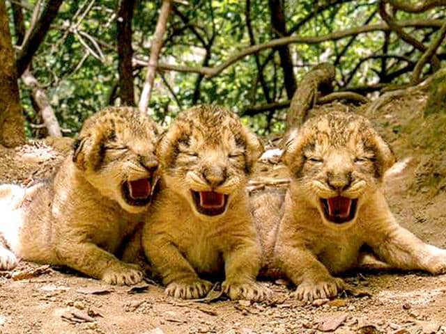 Three lionesses in Gir forest gave birth to 11 cubs in Gujarat. (Handout photo by Dr Sandeep Kumar, deputy conservator of forest, Gir national park)