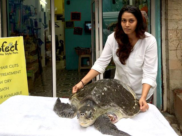 An injured two-and-a-half feet female olive ridley turtle washed ashore at Juhu Koliwada beach. She was rescued by animal lover Ritika Sheth. (HT photo)